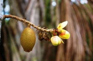 floare de mango