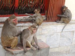în împărăţia macacilor