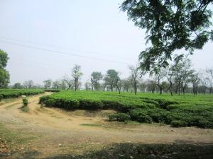 plec din ţara plantaţiilor de ceai
