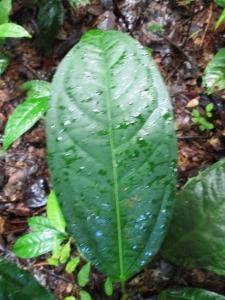 frunza de saracura