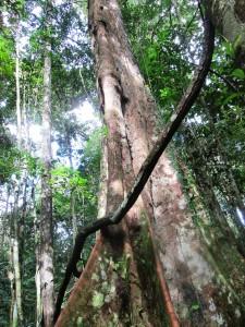 Arbore-templu