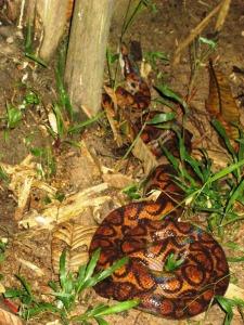 anaconda arcuiris