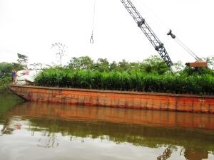 barja uriaşă cară mii de puieţi de palmier