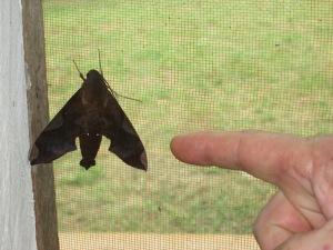 fluture de noapte uriaş