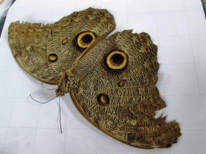 fluturele-ofrandă