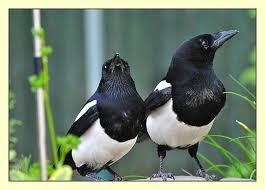 Happy Magpie couple | Beautiful birds, Magpie, Animals